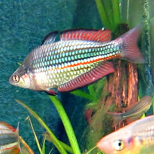 Crimson-spotted Rainbowfish - Melanotaeniaduboulayi, young female in ...